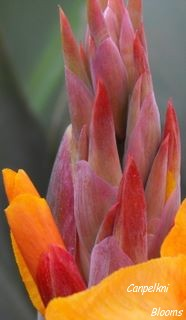 pictures of flower buds from garden plants