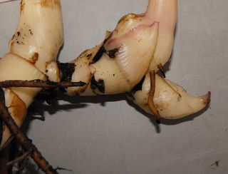 canna garden bulbs are rhizomes