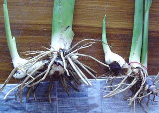 canna bulbs are called canna rhizomes
