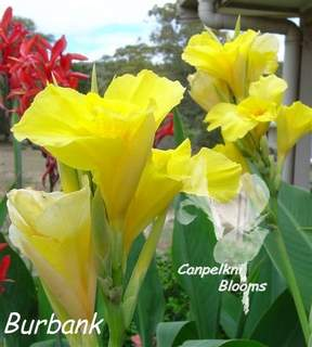 Photo of the tall growing heritage canna Burbank