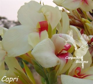 Picture of tropical plant canna capri