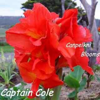Cannas raised in Australia Captain Cole