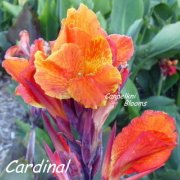 Picture of the color changing red canna Cardinal