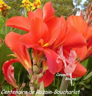 Cannas Centenaire de Rozain-Boucharlat heritage plant with cerise red flowers flushed in bright pink