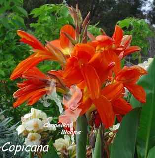 Canna Copicana