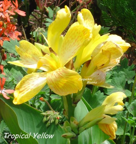Dwarf Series Canna Tropical Yellow