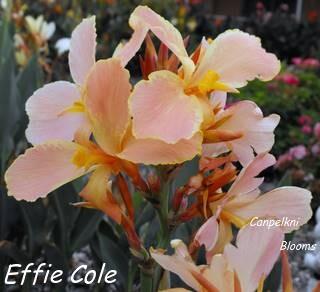 Australian canna Effie Cole