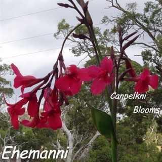 Canna Ehamanni