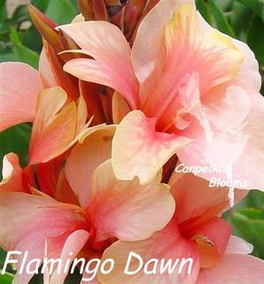 Canna Flamingo Dawn