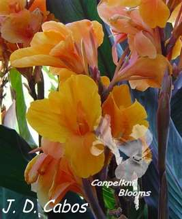 Old garden plants of Canna J D Cabos