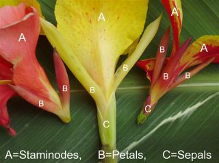 parts and names of a canna flower