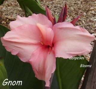 Raised by Pfitzer was the old cannas called Gnom