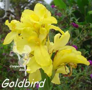 Picture of yellow flowering cannas Goldbird