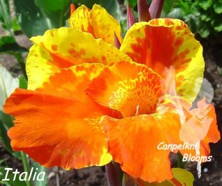 pictures of canna flower Italia and the parts of  the flower