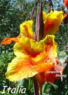 Cannas Italia is a tall growing plant