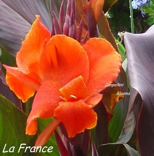 Pictures of leaf colored red cannas La France