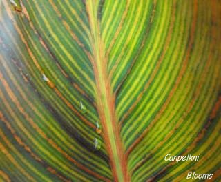 pictures of striped leaves on the Tropical looking canna Phasion