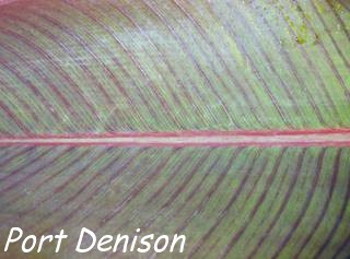 Cannas hybrid Port Denison