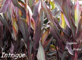 picture of canna plants leaves