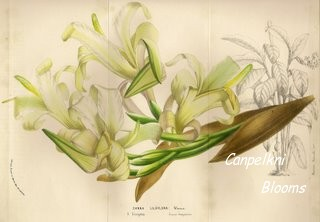 canna liliiflora