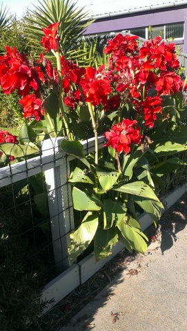 Red flowering canna Furst Weid