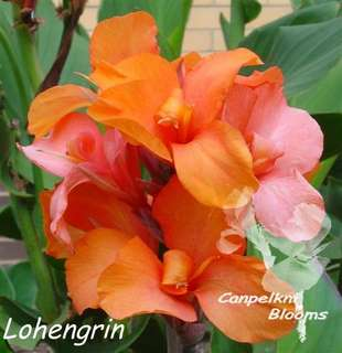 Picture of Cannas Lohengrin