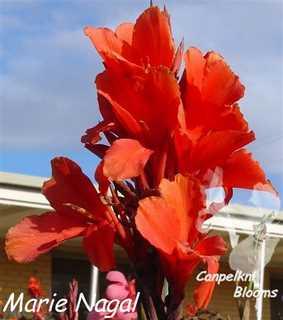 Red garden cannas Marie Nagal