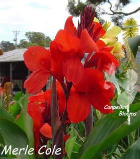 Red flowering Australian canna Merle Cole