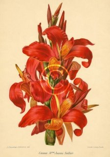 Picture of a chromolith of old world plant canna Mme Joanni Sallier .