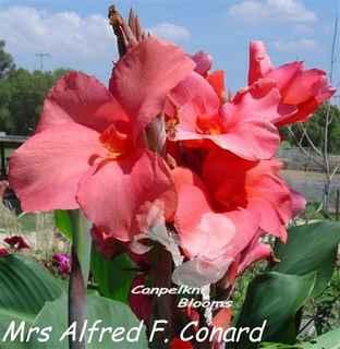 Canna Mrs Alfred F. Conard
