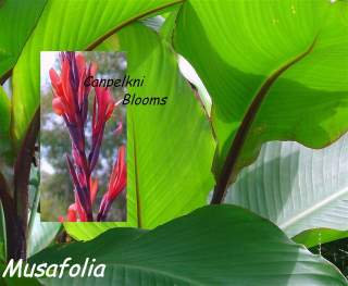 Musafolia is tall growing canna with slender flowers