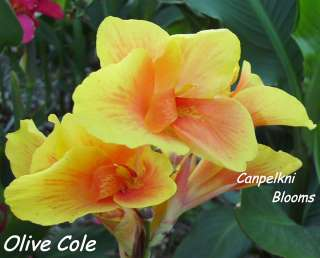 Beautiful garden cannas such as Olive Cole with green leaves