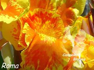 Picture of Canna Roma waterwise plants and flowers