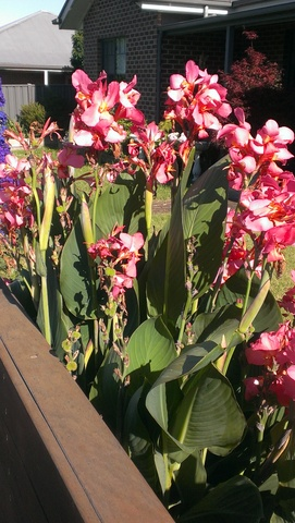 Cannas Rosea Superba growing very well at Traralgon in Country Victoria