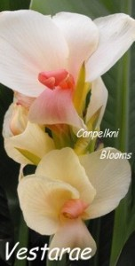 Picture of flowering canna garden plants
