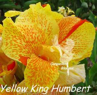 Heirloom canna yellow king humbert plants with variegated flowers picture of striped yellow king humbert mightylinksfo