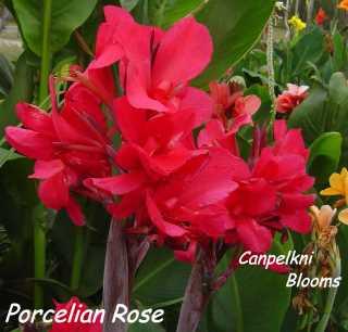 Canna Porcelian Rose