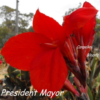 picture of dark leaves and red flowers on canna President Mayor