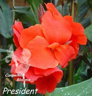 The red flowering plant canna President