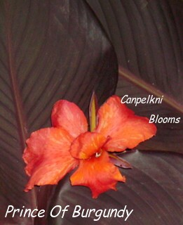 Photo of canna Prince of Burgundy with broad dark colored leaves