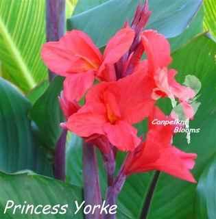Canna Princess Yorke