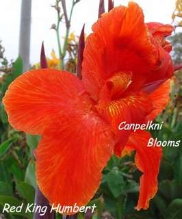 picture of Red King Humbert canna which is a sport from Yellow King Humbert