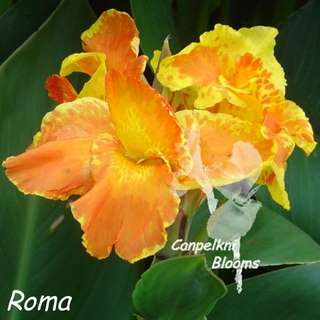 Picture of tropical cannas orange and yellow garden plants