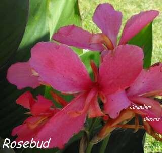 Canna Rosebud