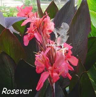 Canna Rosever