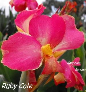 Picture of Pink flowering cannas Ruby Cole