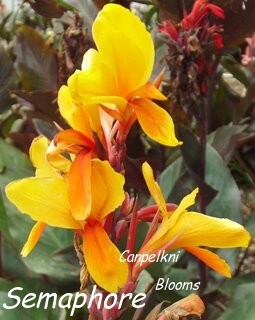 Picture of canna Semaphore with colored leaves.