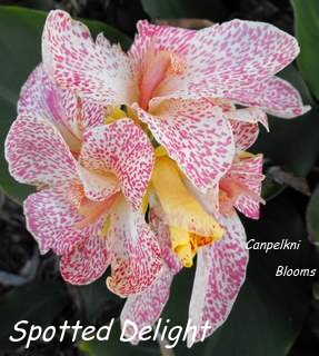 canna spotted delight