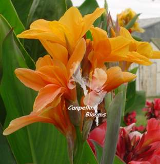Canna Star of India