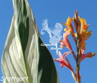 Pictures of Cannas Stuttgart Flowering in the Garden